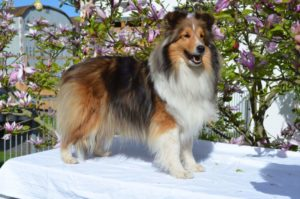 DCH.Baby Blues ARTEMIDA Shelties